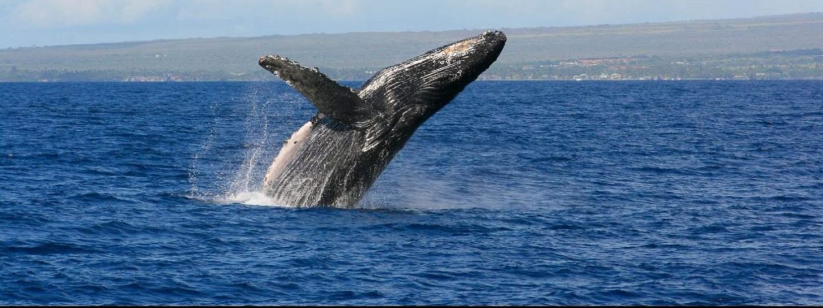 A Pulsing Sea – The Effects of Seismic Airguns on Whale Populations