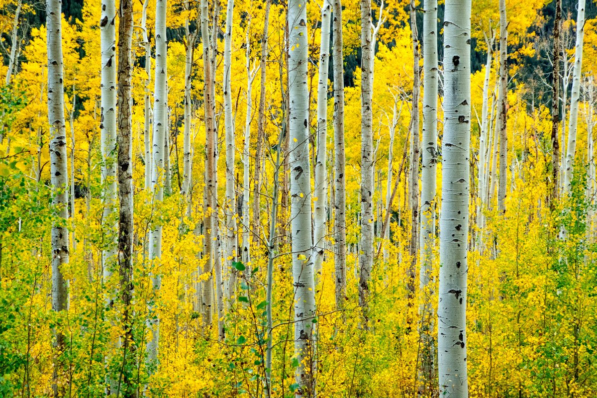 The Race to Save Pando
