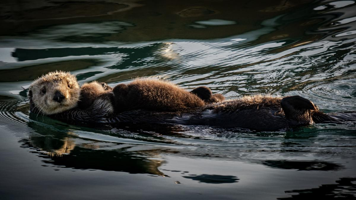The Lives ofOtters